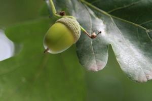 acorn-nature-1432983-m