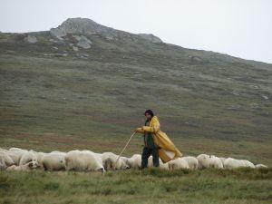 shepherd-2-853654-m
